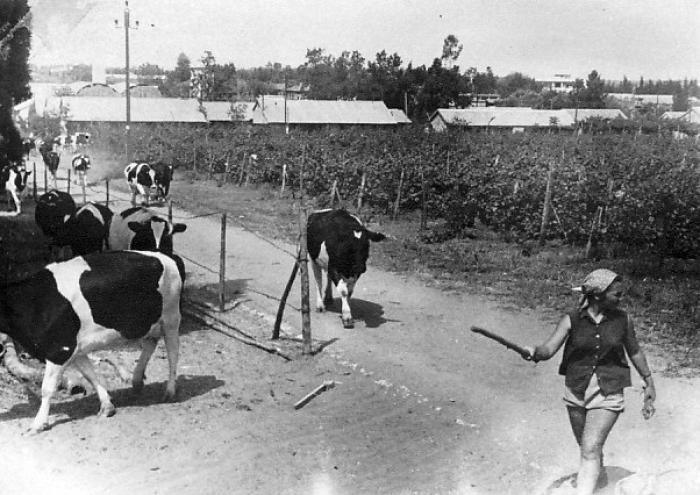 ן-שמואל-העברת הפרות לרפת החדשה 1950