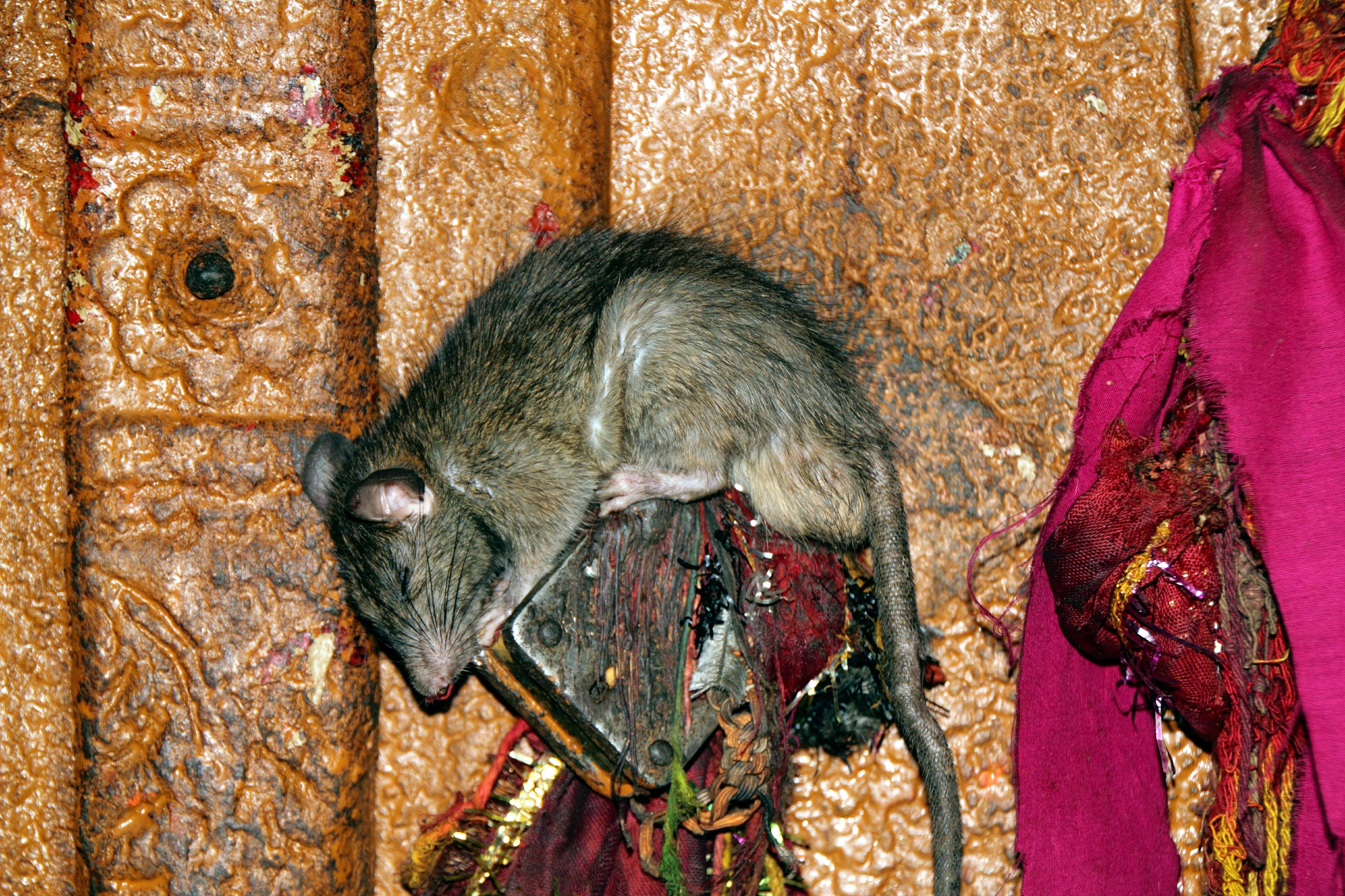File:Sleeping kaba - Karni Mata Temple (8029425663) jpg - Wikimedia