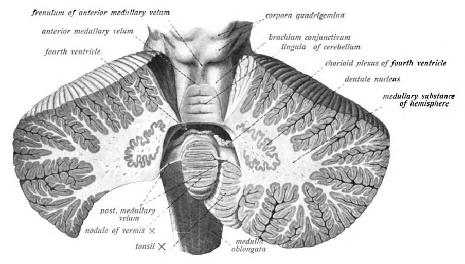 Cerebellar Nuclei Dentate Nucleus Nucleus Dentatus