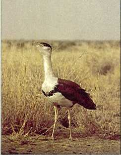 An Indian bustard in Ghatigaon Sanctuary.