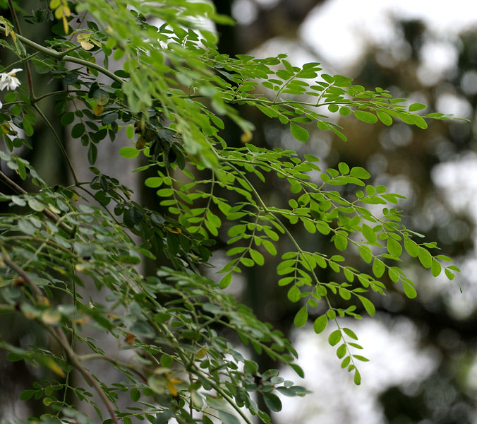 File:Sonjna (Moringa oleifera) at Jayanti, Duars, West Bengal W IMG 5250.jpg