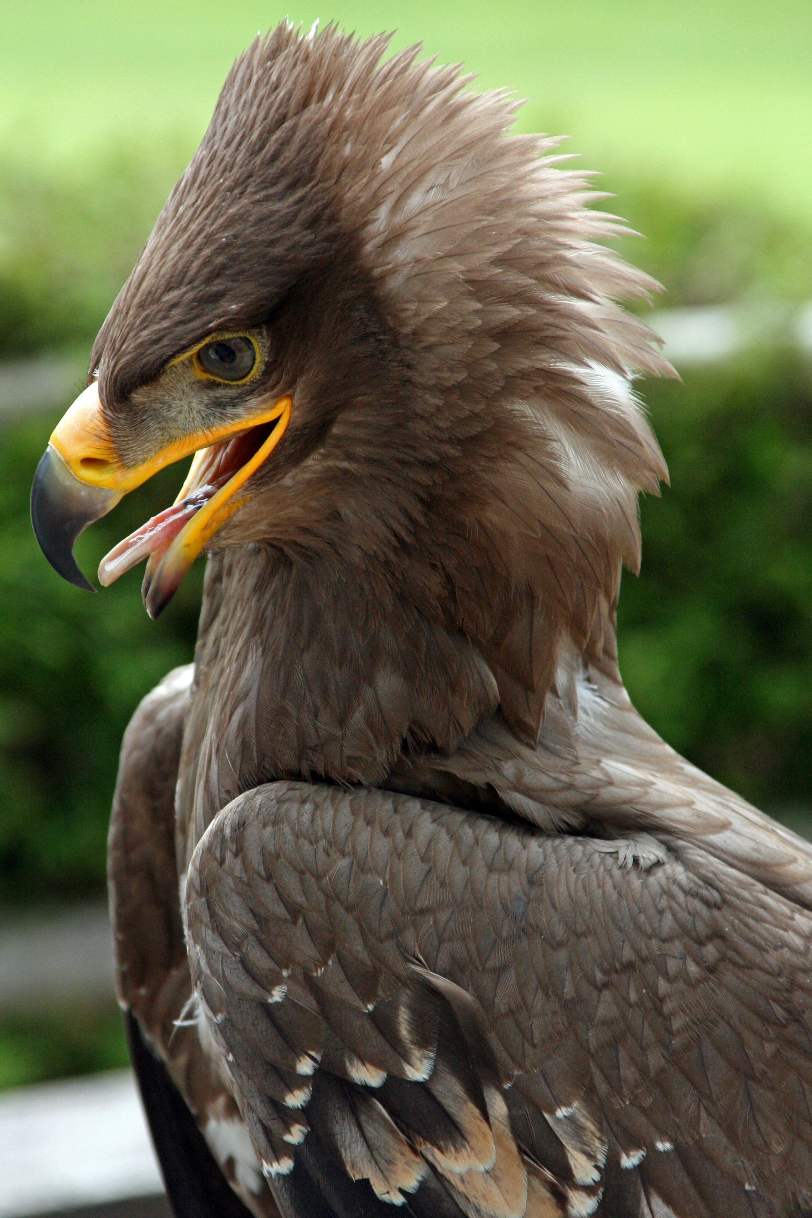 Wikipedia Steppe Eagle File:steppe Eagle Aquila