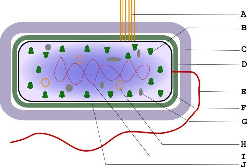 Строение бактерии Схема