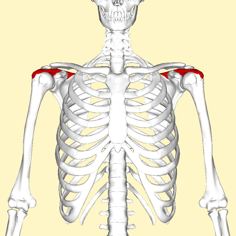 Filesupraspinatus Muscle Frontal2g Wikimedia Commons