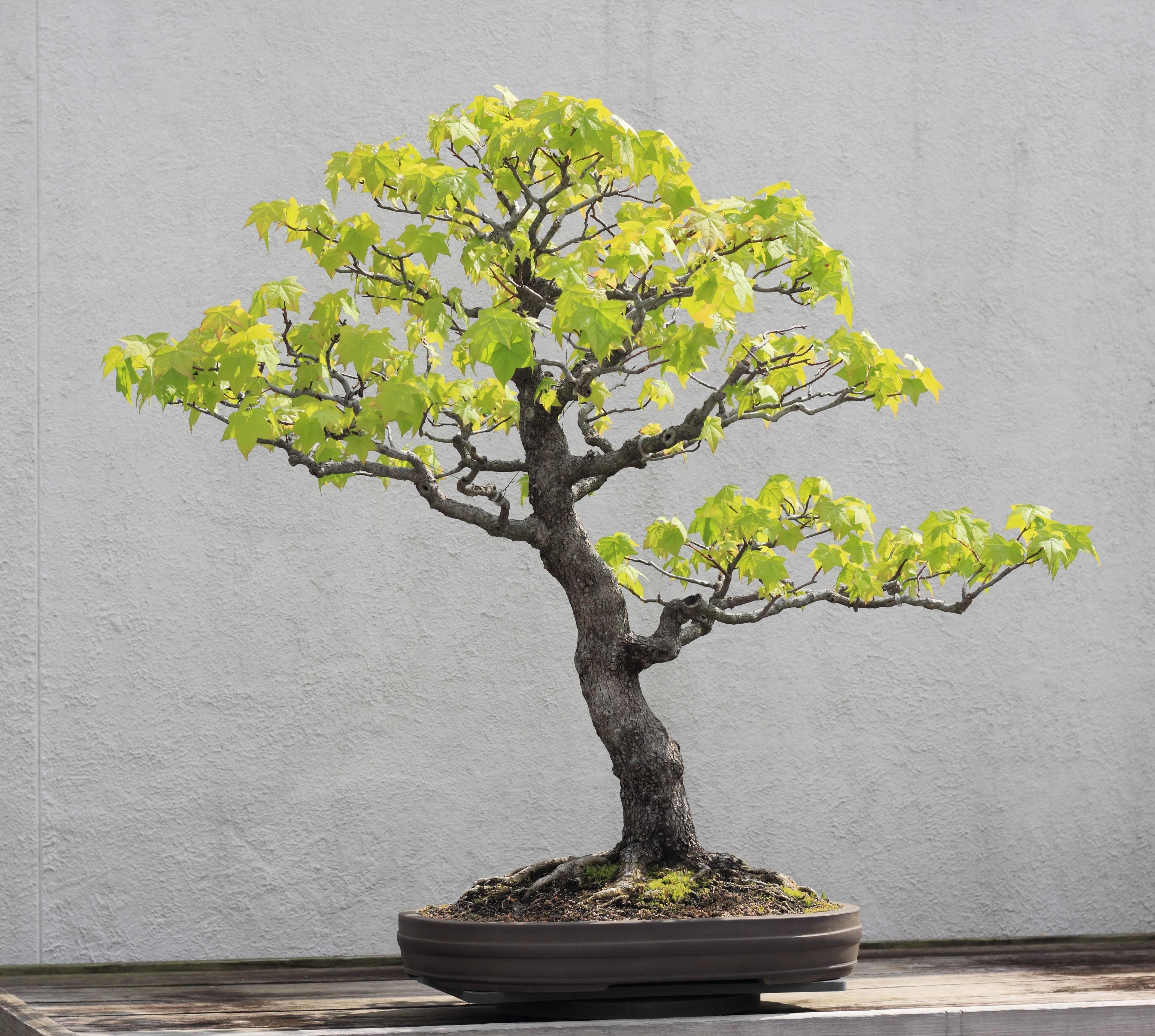 File Sweet Gum Bonsai 273 30 April 2012 Jpg Wikimedia Commons