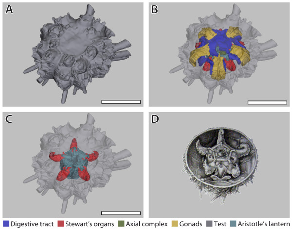 File:Systematic-comparison-and-reconstruction-of-sea-urchin ...
