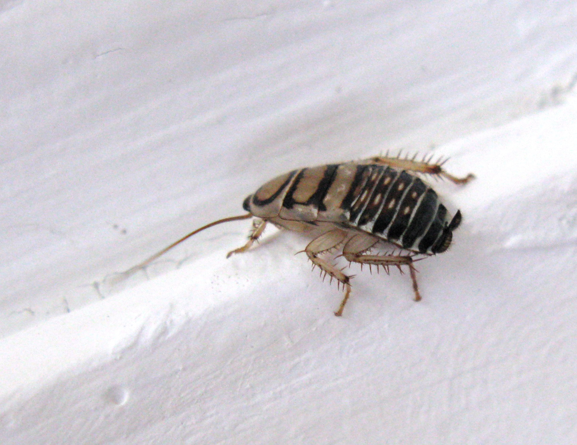 file temnopteryx species zebra cockroach. Black Bedroom Furniture Sets. Home Design Ideas