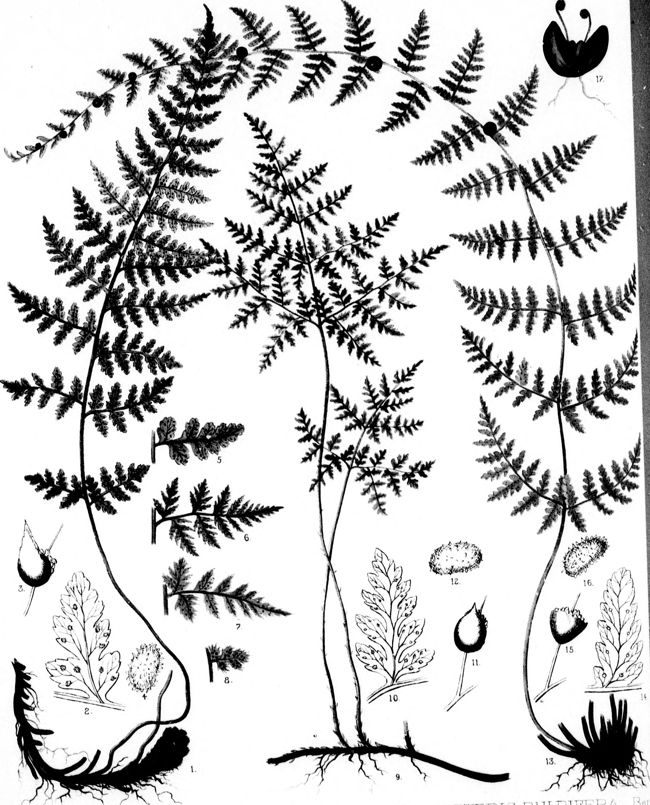 file the ferns of north america microform colored figures and 50 States of North America file the ferns of north america microform colored figures and descriptions
