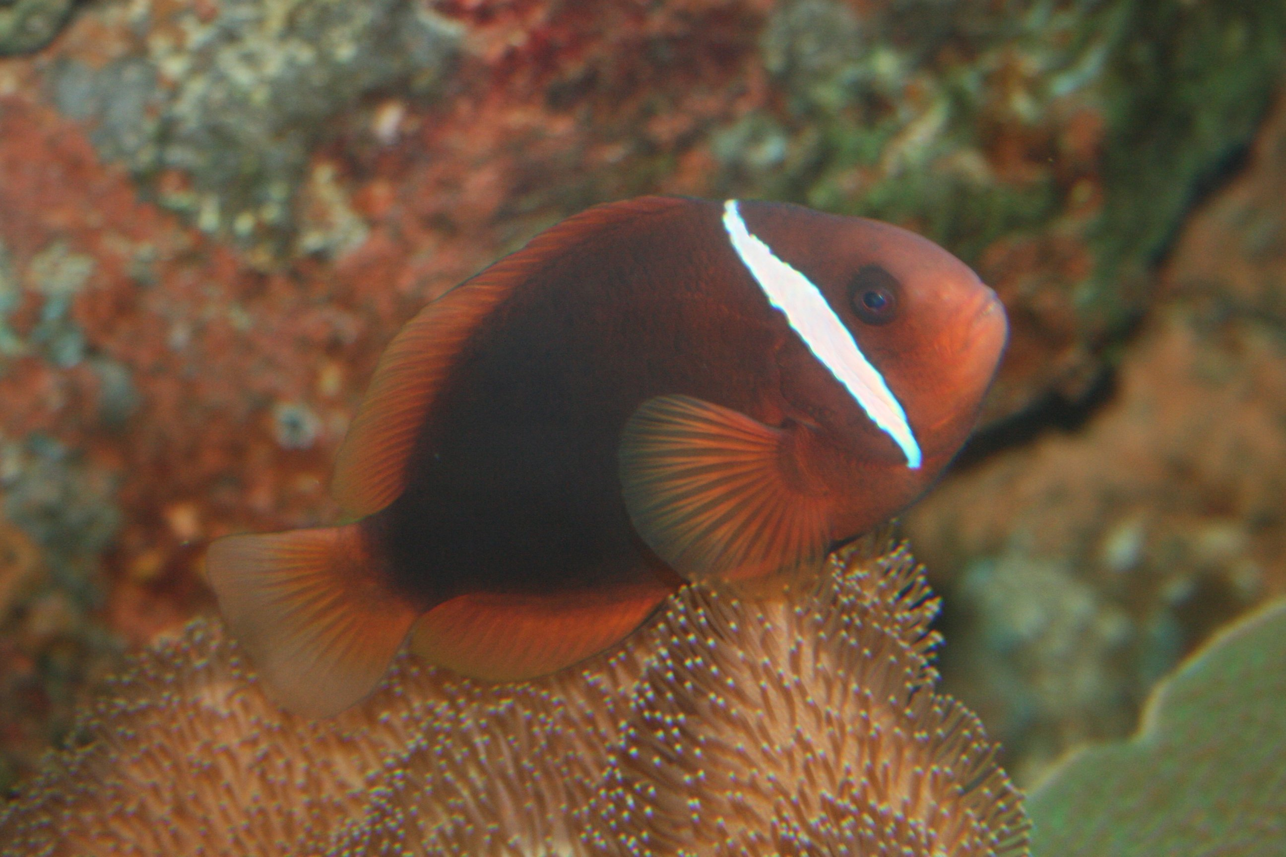 Tomato clownfish wikiwand for Pictures of clown fish