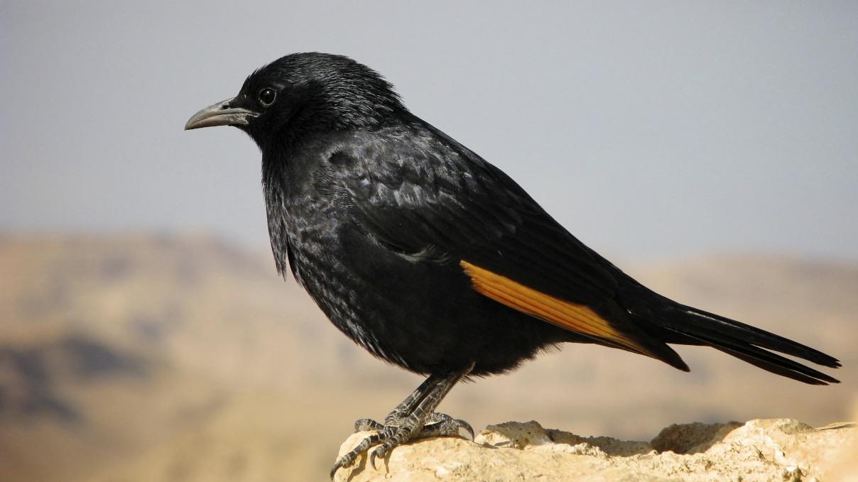 Tristrams starling 3.jpg