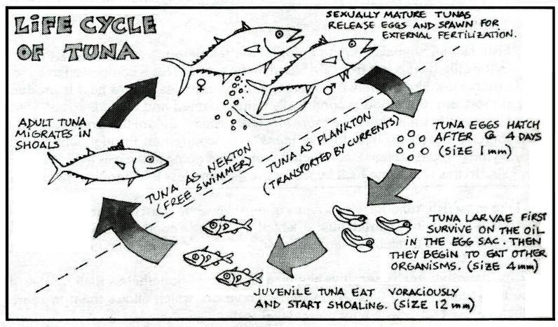 Parrot Fish Life Cycle Diagram Enthusiast Wiring Diagrams