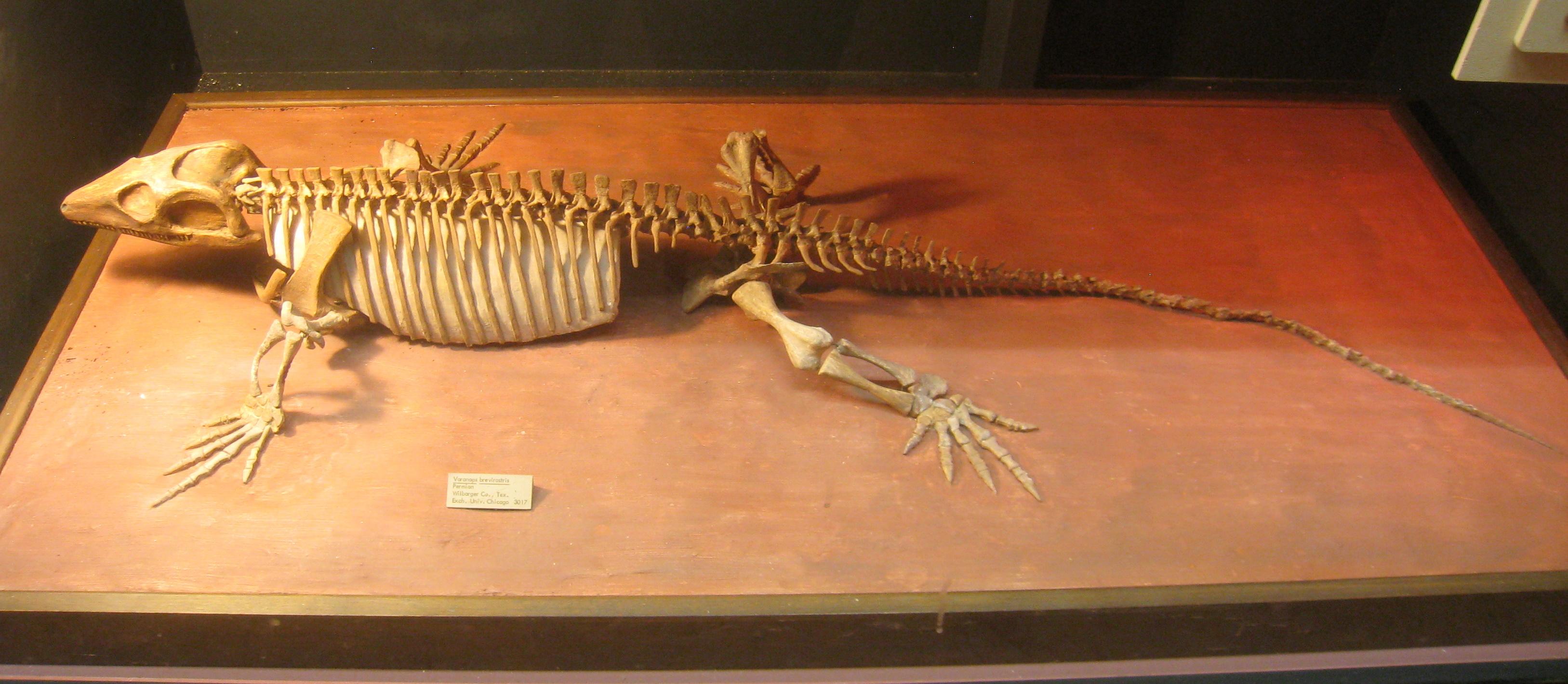 Varanops brevirostris