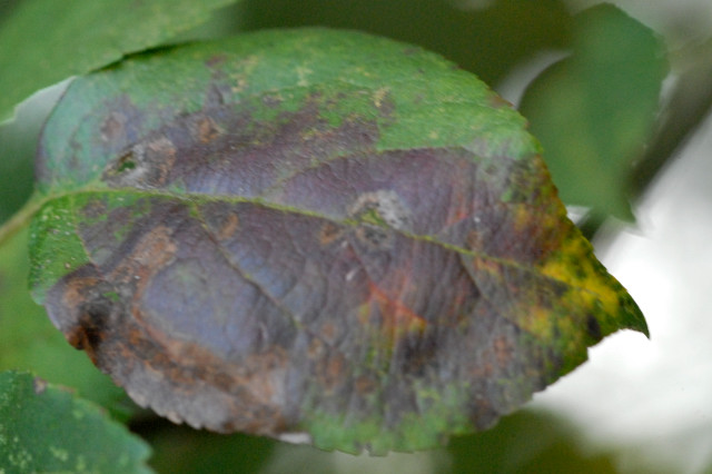 venturia online dating The journal of plant pathology  examples will be presented of testing various characteristics of botrytis cinerea or venturia inaequalis antagonists under.