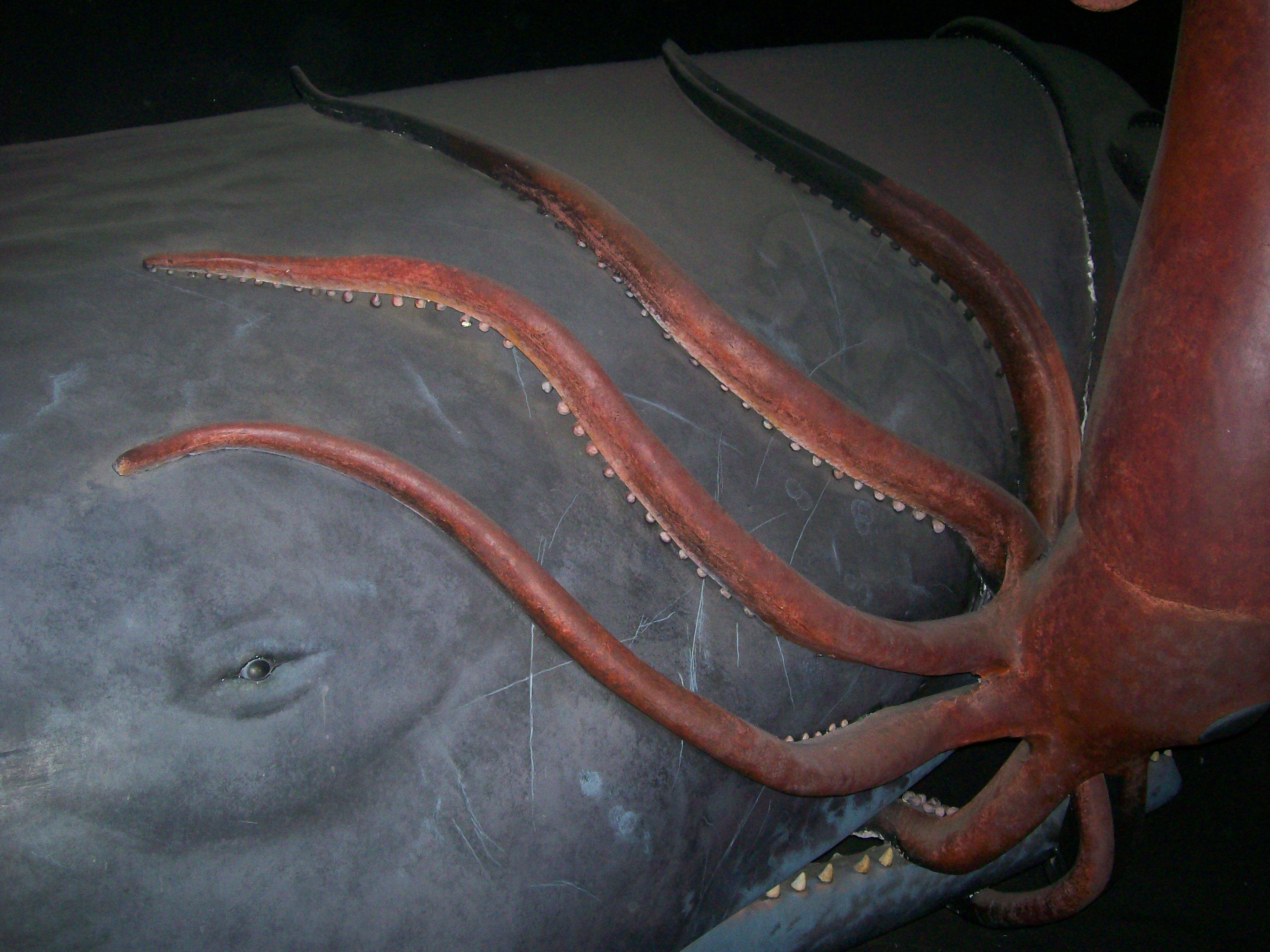 squid against sperm whale