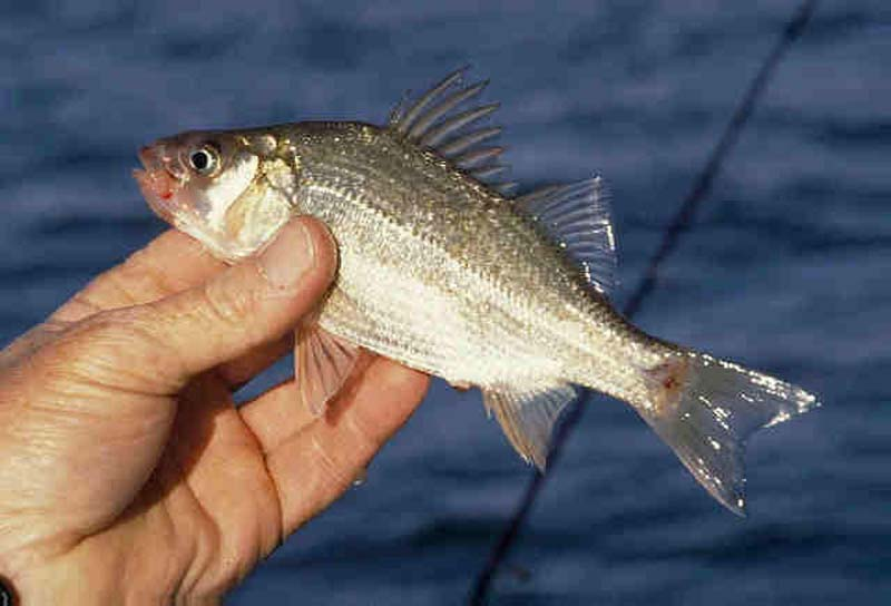White bass or white perch which is it for White perch fish