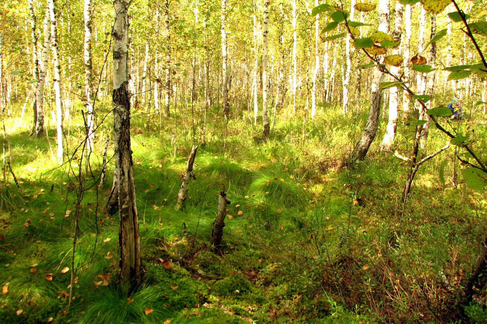 Файл заболоченный лес в бутаково