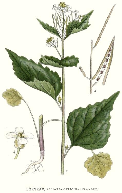 Wilde Kreuzblütler für die Küche – Knoblauchskrauke