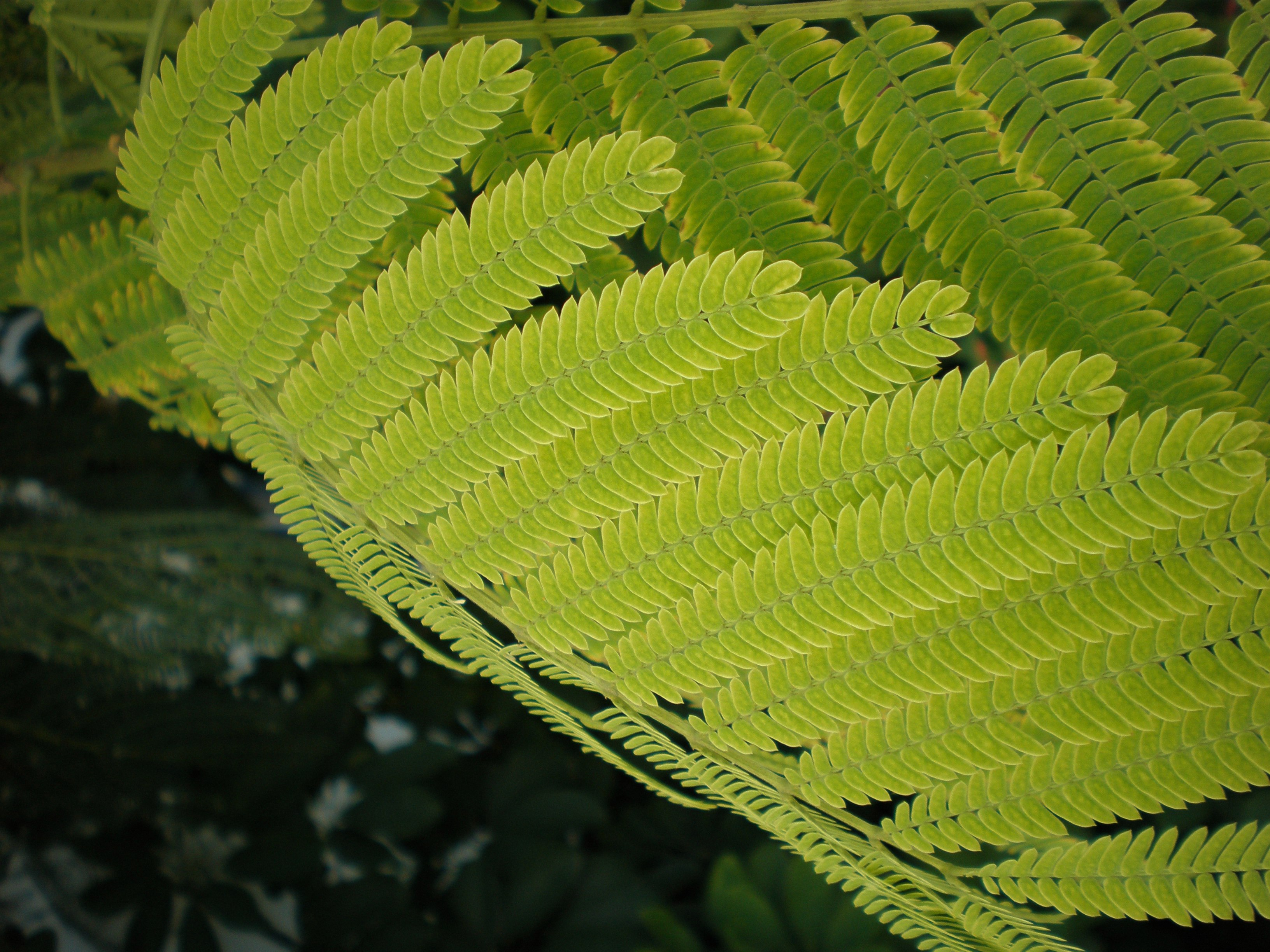 Fileacacia Leavesjpg Wikimedia Commons