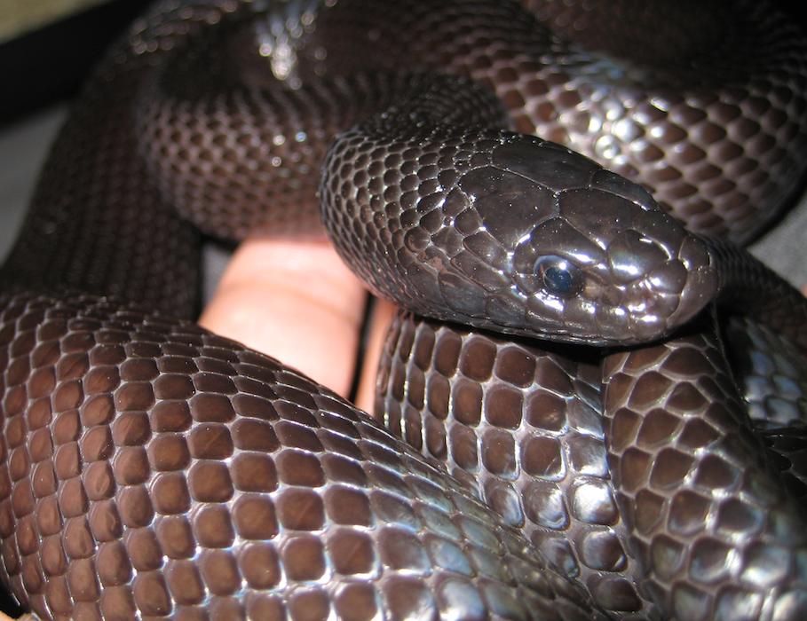 mexican black kingsnake