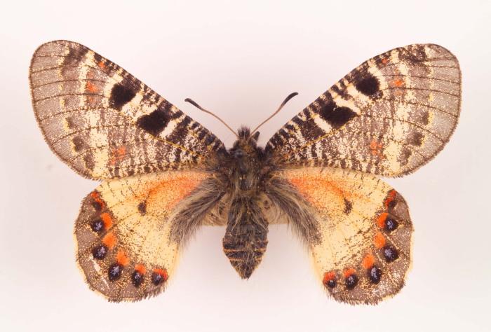 Альбом пользователя ЕкатеринаКостинская: Парусник Архон. Коллекция 63 бабочки мира