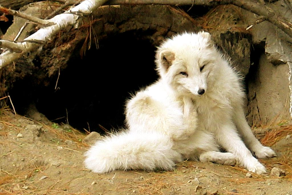 http://upload.wikimedia.org/wikipedia/commons/0/06/Arctic-fox.jpg