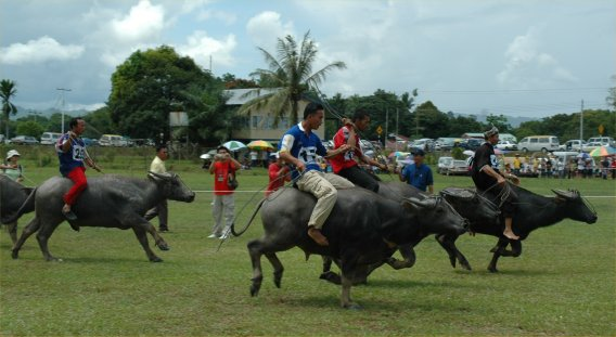 Water buffalo racing at Babulang 2006
