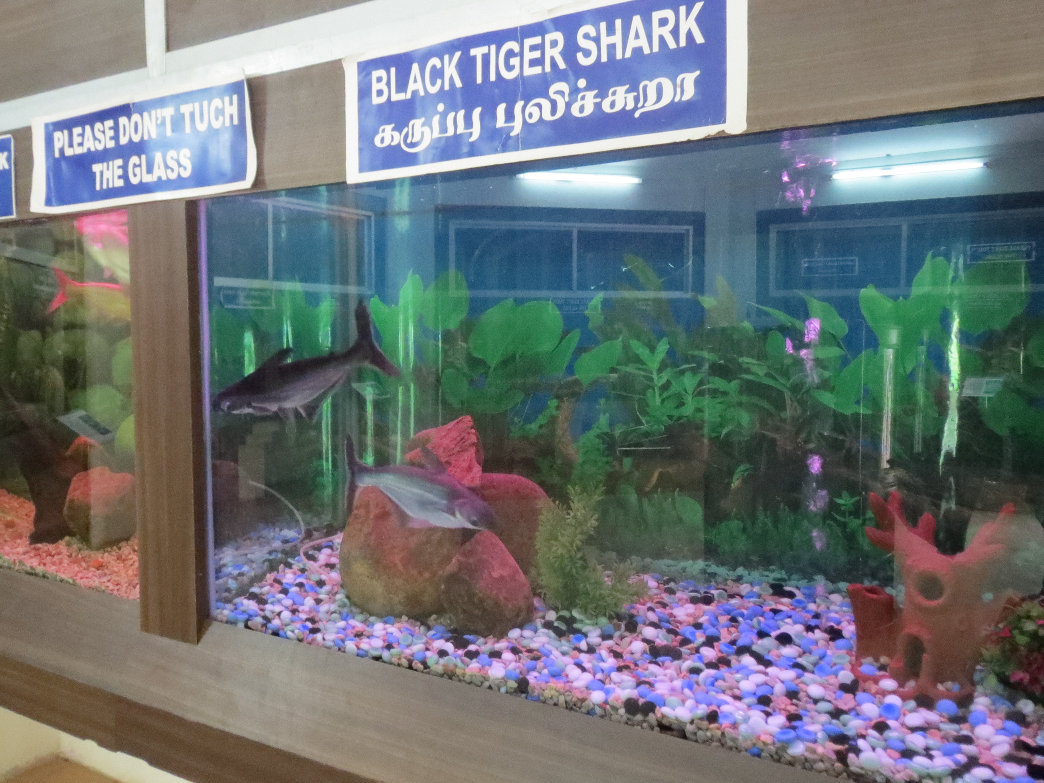 File Black Tiger Shark Fish on oscar fish tank size