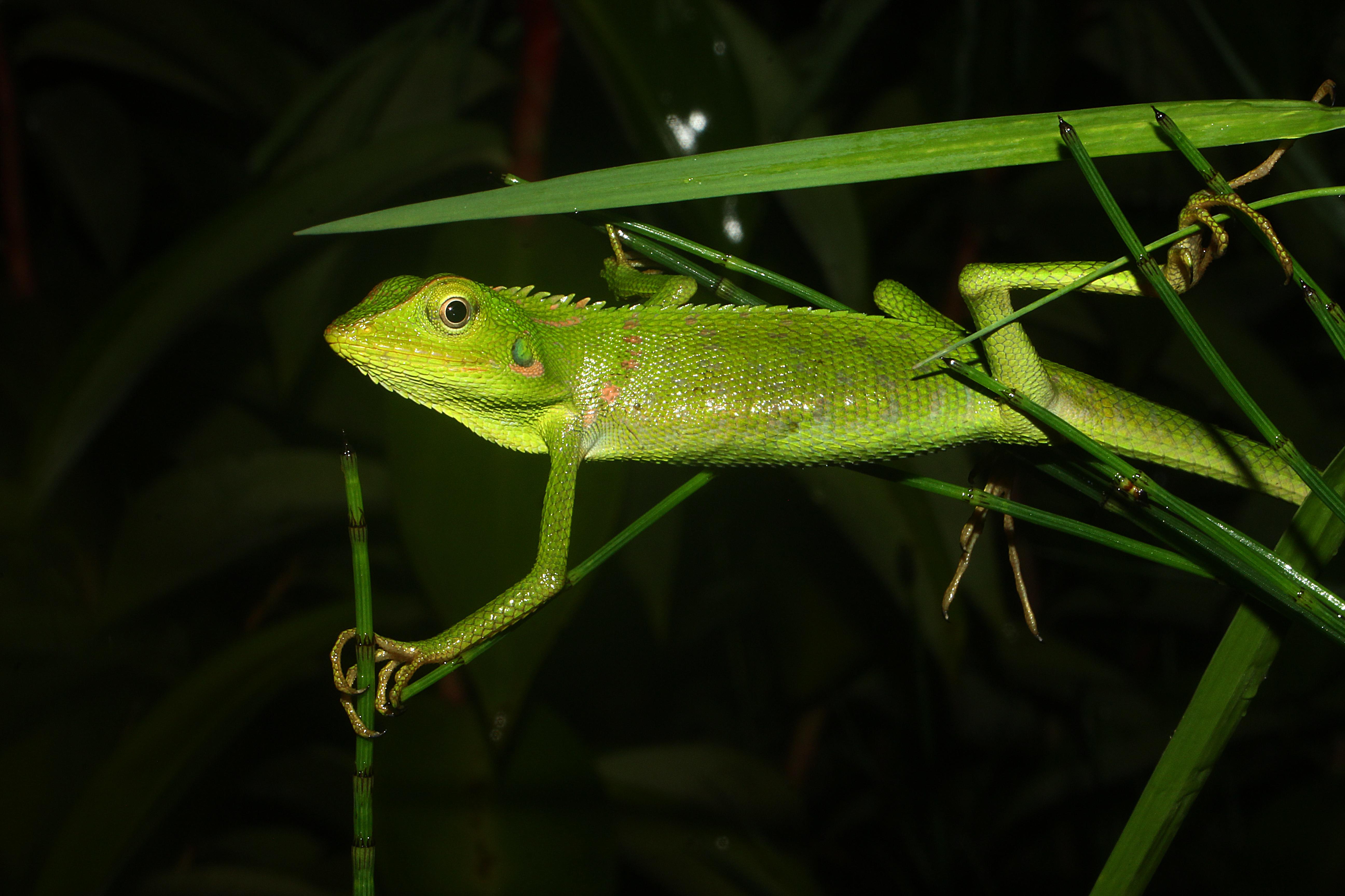 File Bunglon Surai Bronchocela Jubata Jpg Wikimedia Commons