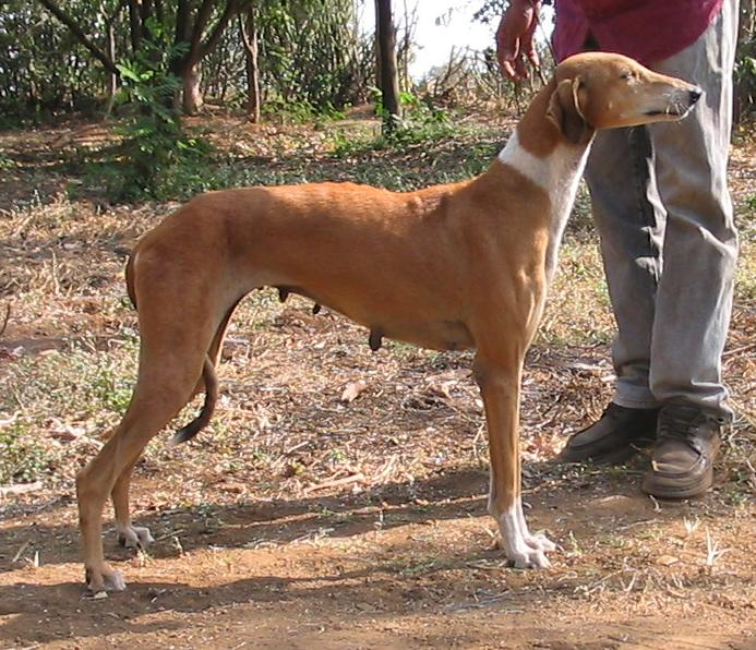 Indian Dog Breeds With Pictures