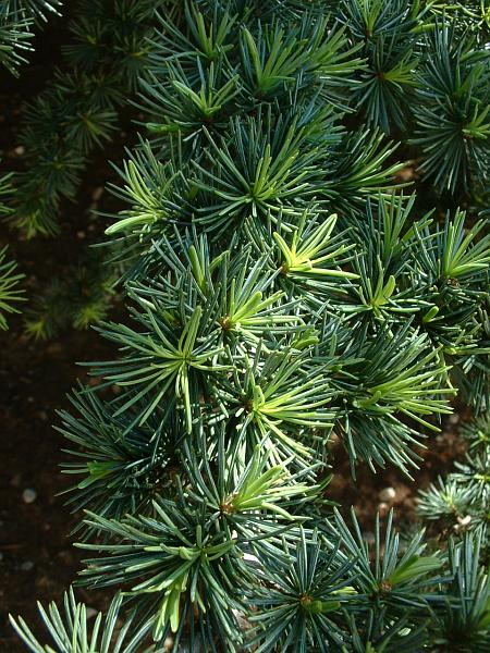 Sedir Ağacının Üretimi Nasıl Yapılır ?