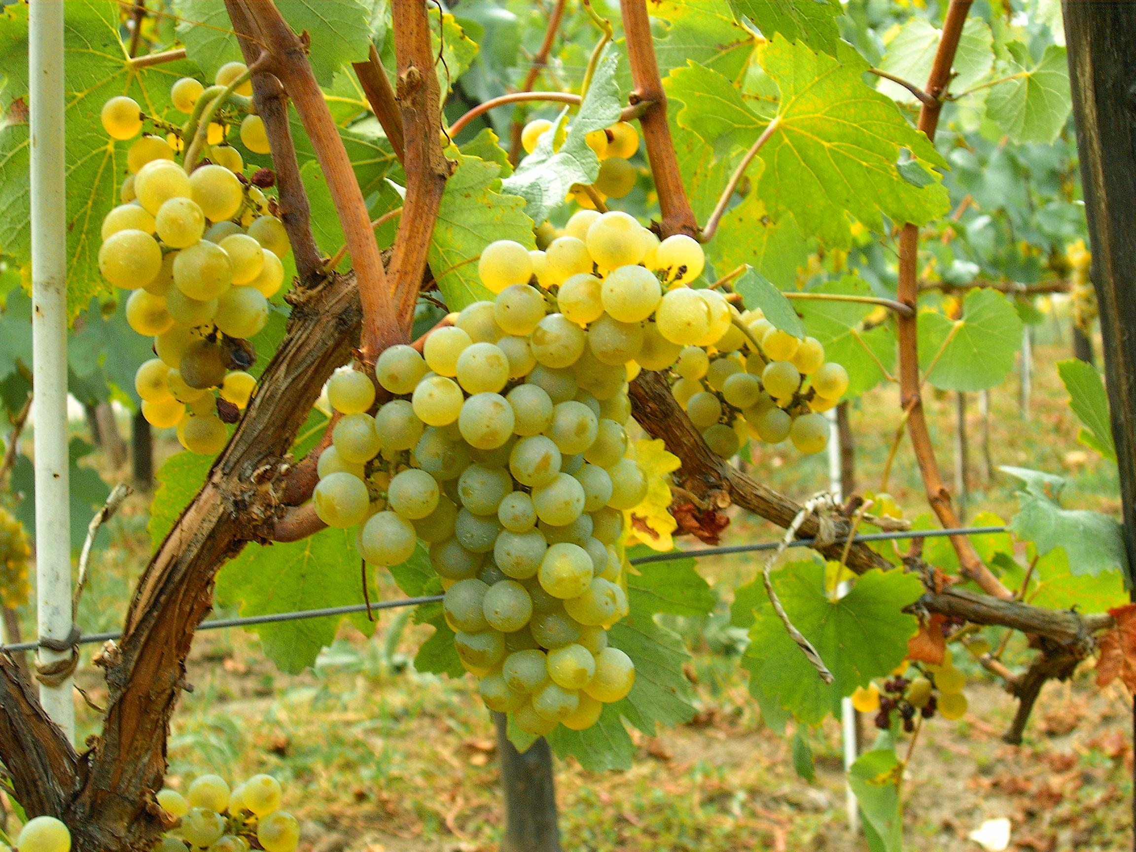 File:Chardonnay Moldova.JPG - Wikipedia