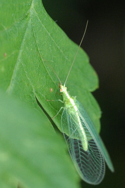 Gemeine florfliege wikipedia for Zimmerpflanzen kleine fliegen