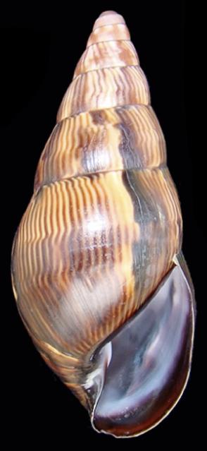 Shell Corona