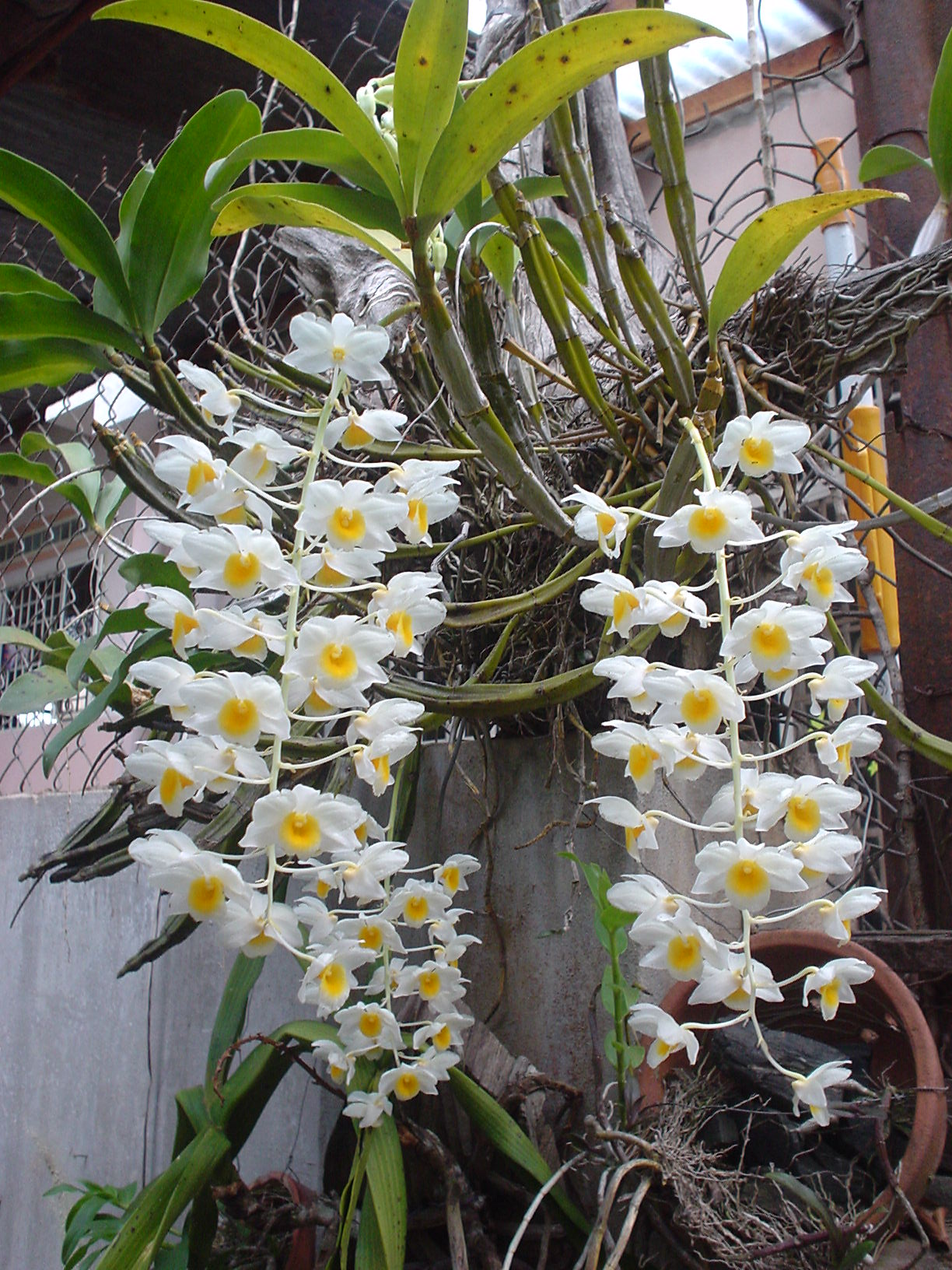 http://upload.wikimedia.org/wikipedia/commons/0/06/Dendrobium_palpebrae_Phonglan02.JPG