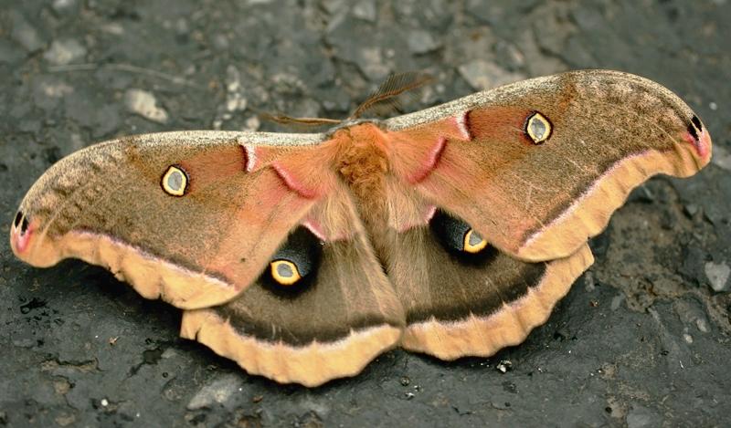 Emperor Gum Moth GalawebDesign