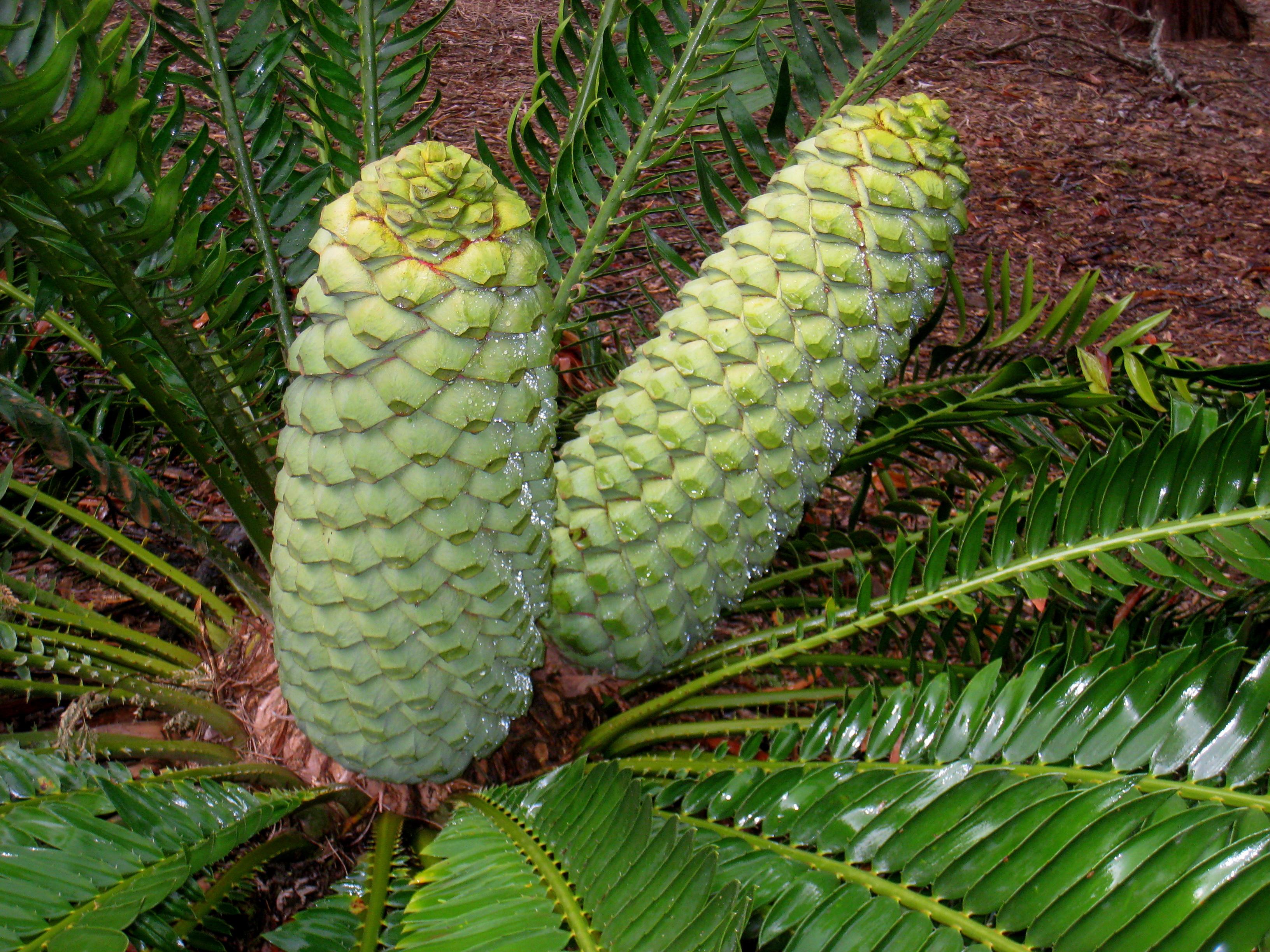 File Encephalartos Turneri Koko Crater Botanical Garden Img 2329 Jpg Wikimedia Commons