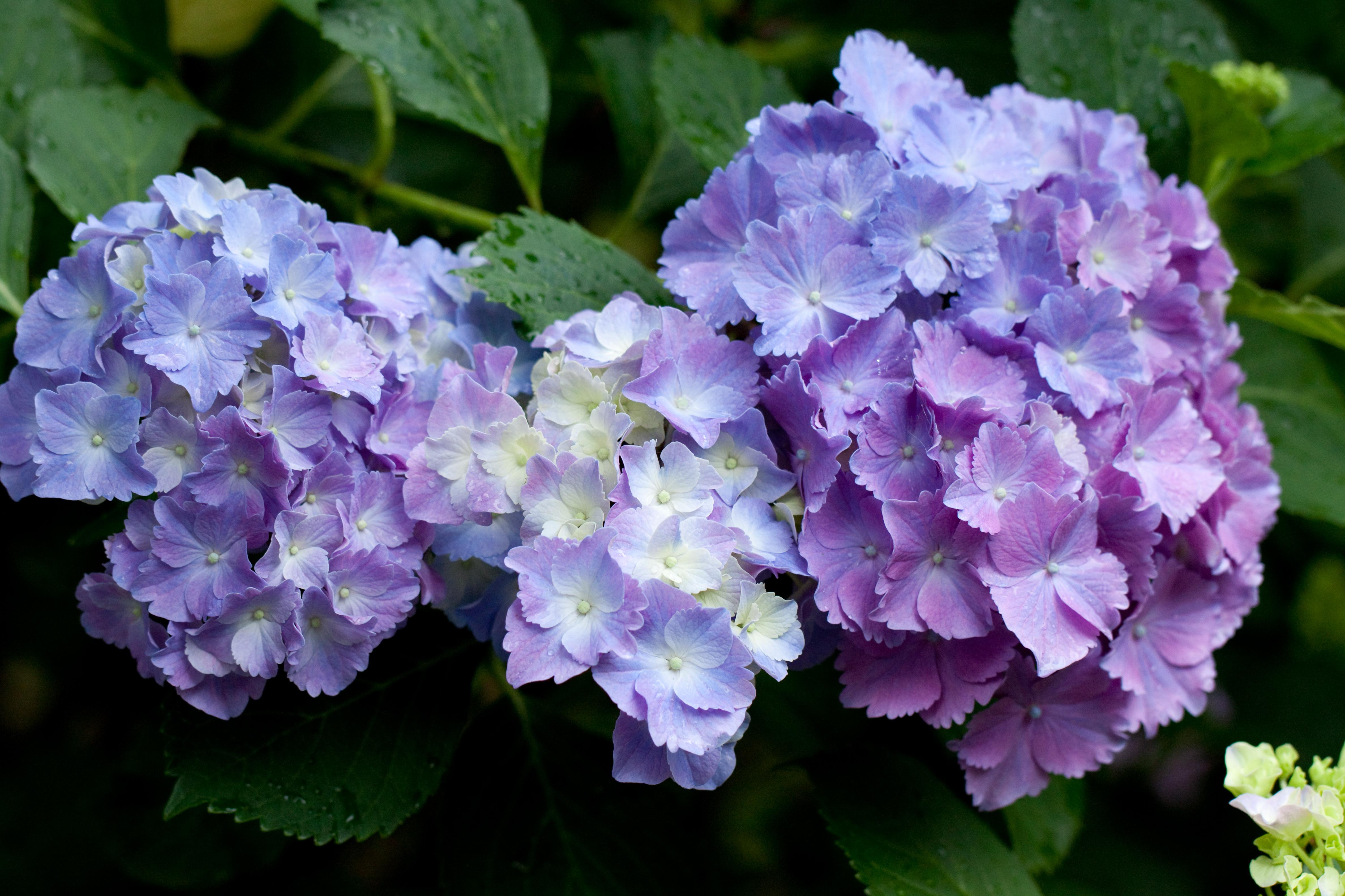 File Flower Hydrangea Flickr nekonomania 3 Wikimedia mons