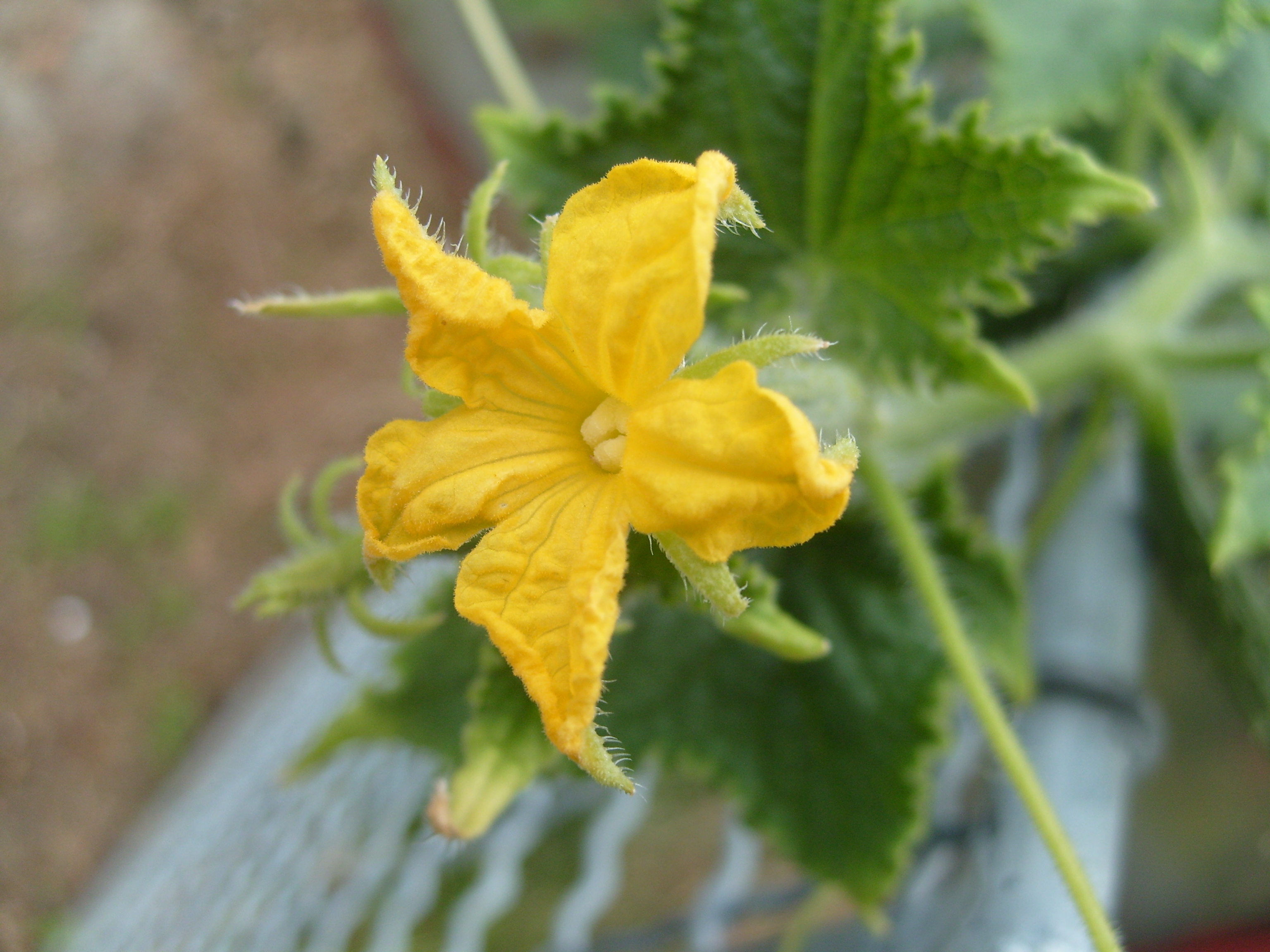 Fileflower Of Cucumberg Wikimedia Commons