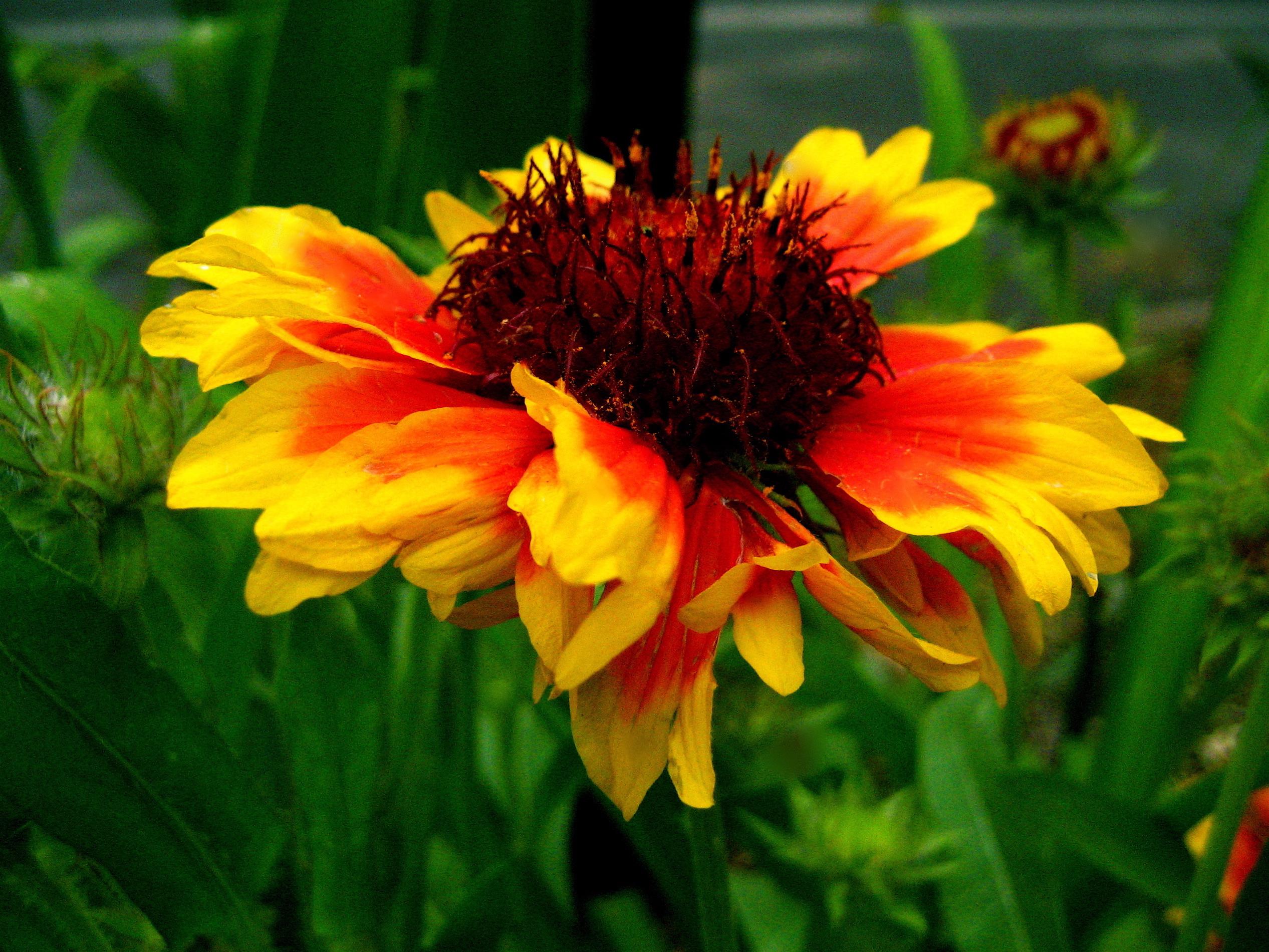 File Gaillardia aristata blanketflower or firewheel 1