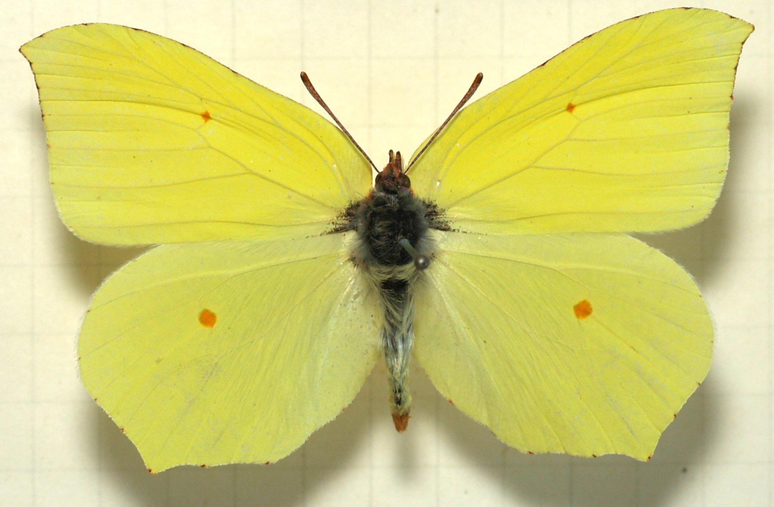 citronfjäril