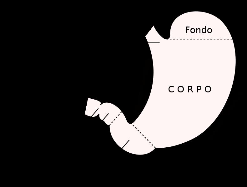 Antro pilorico - Wikipedia