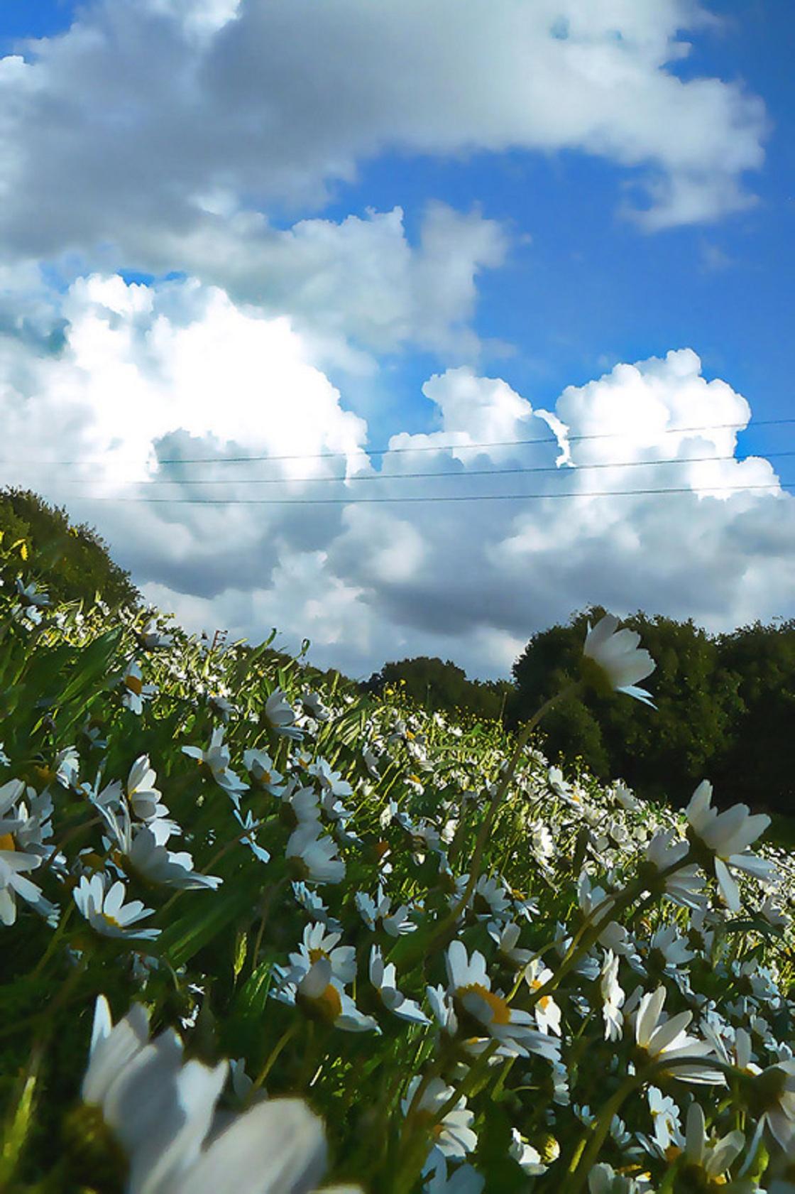 حقلٌ من الزهور البيضاء في جبل لبنان.