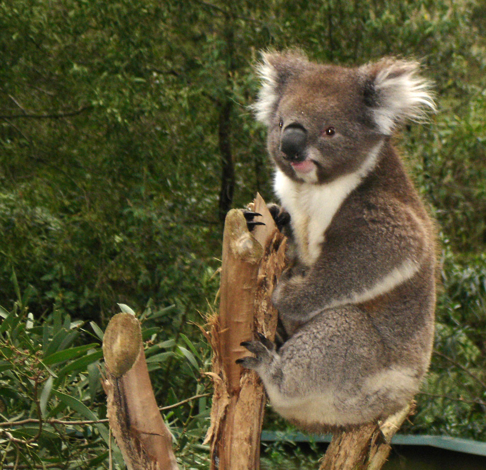 What do koalas look like