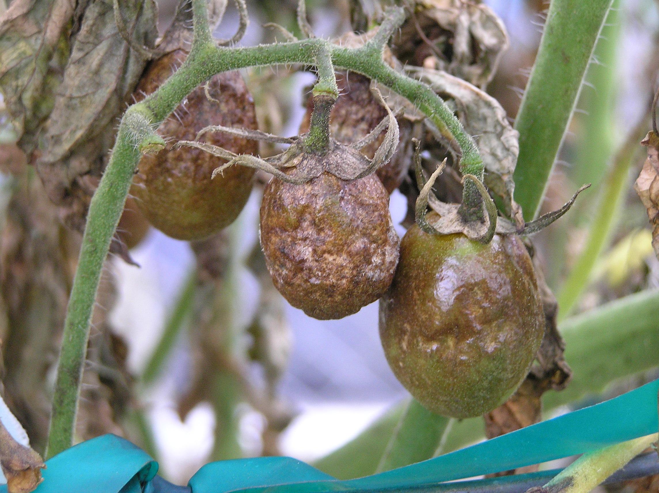 Braunfäule Tomate