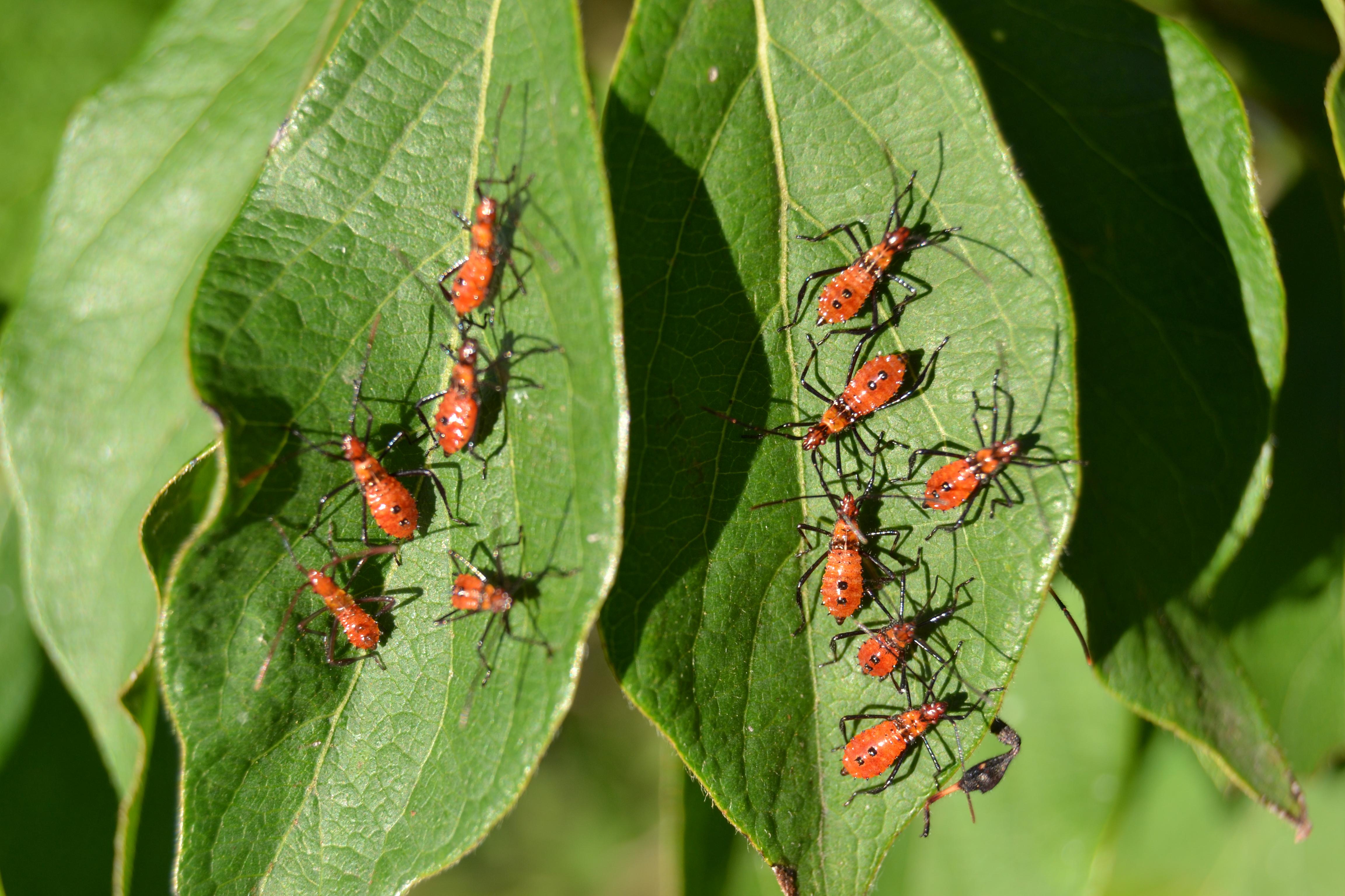 File:Leaf-footed Bug Nymphs (Leptoglossus sp.) (10162825105).jpg ...