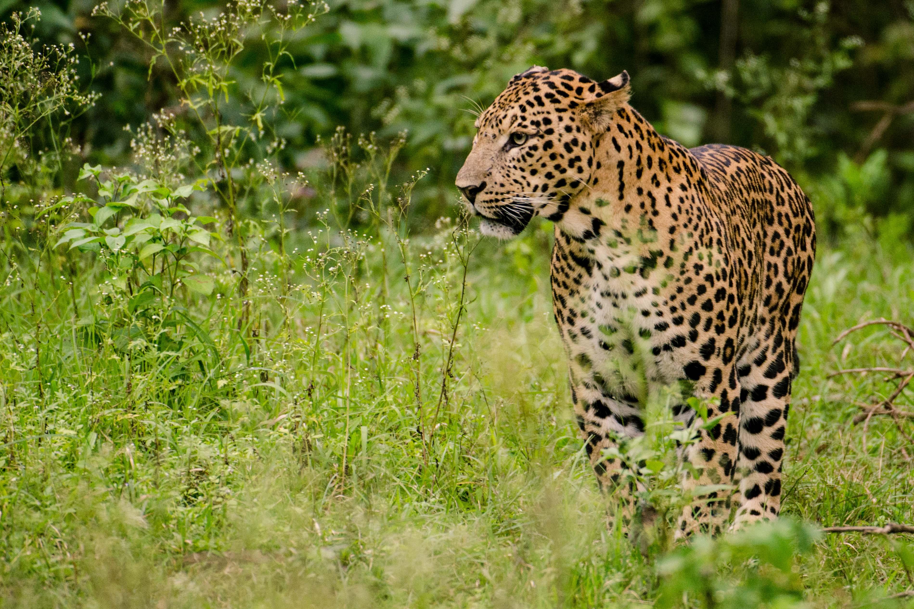 Indian leopard - Wikipedia