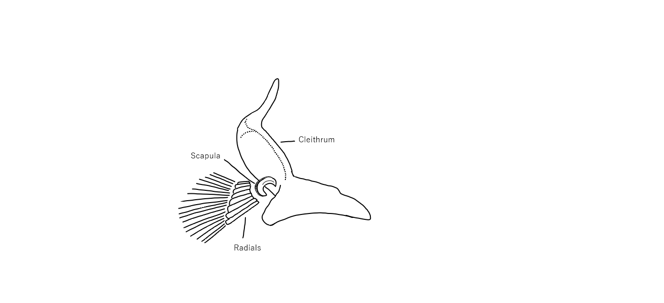 File:Lepisosteidae Pectoral Girdle Medial.png - Wikimedia Commons