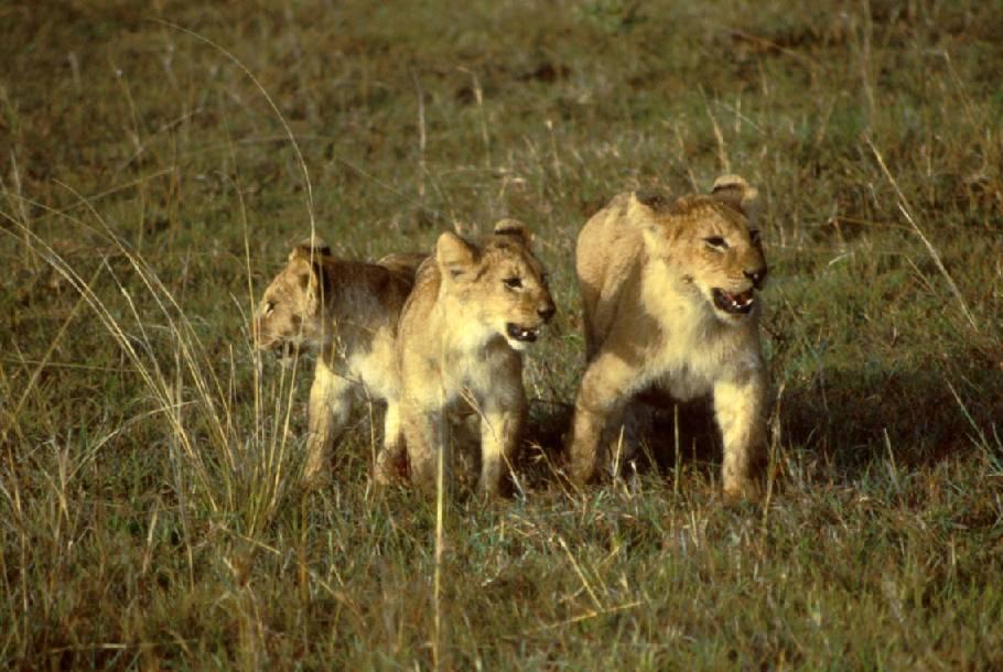 Junge Löwen
