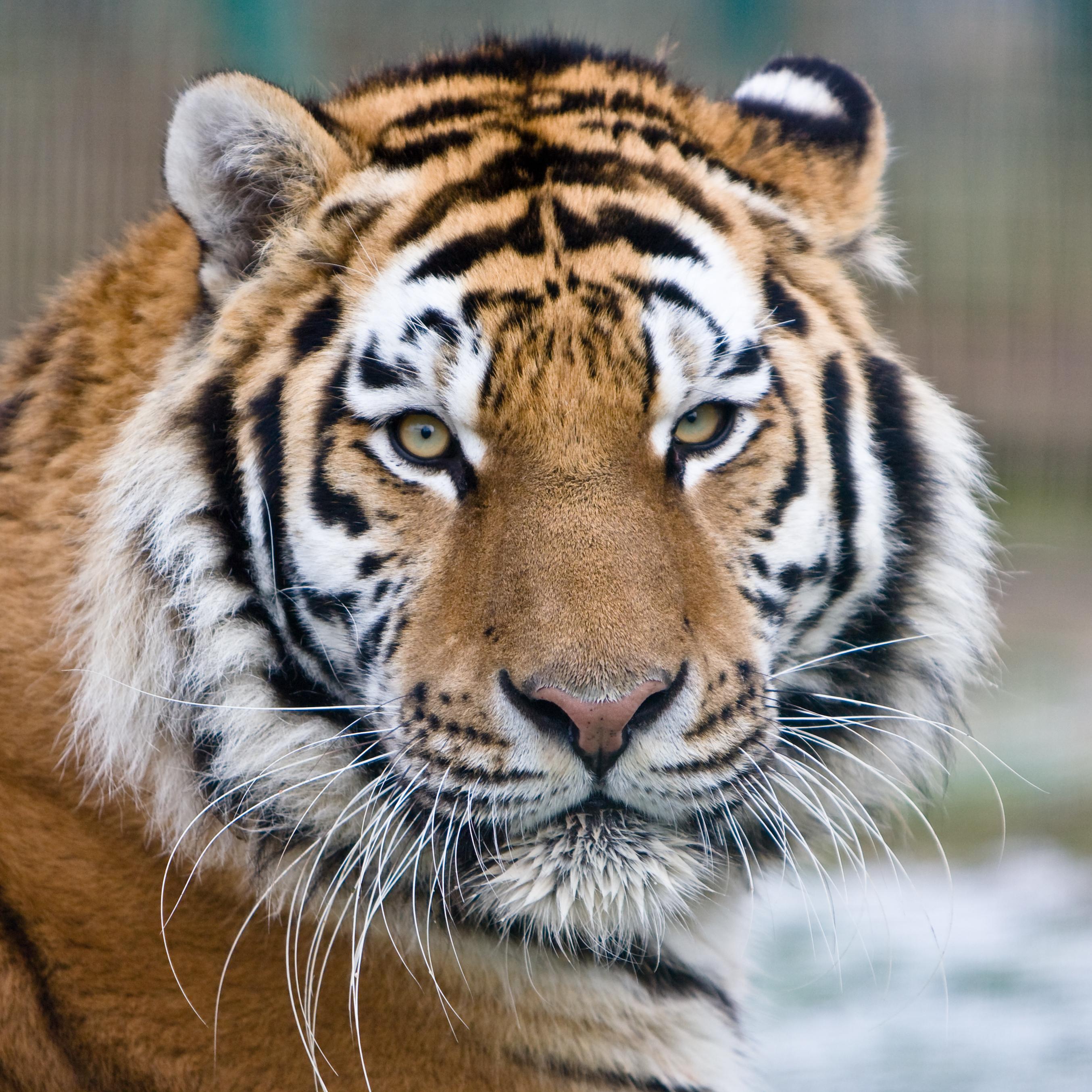 Descrição Makari the Tiger.jpg