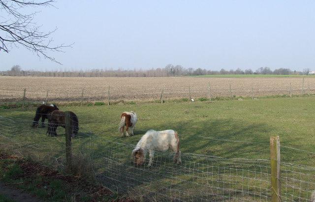 Miniature horses at Stotfold. - geograph.org.uk - 384510